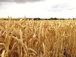 Ingredients: Barley