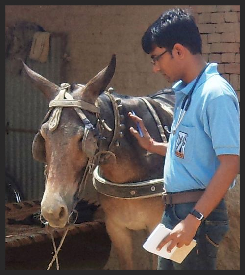 A Brooke  veterinarian examines a mule who is suffering from heat exhaustion at a brick kiln in India.