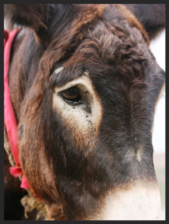 This mule's eye speaks volumes.  www.BrookeUSA.org.jpg
