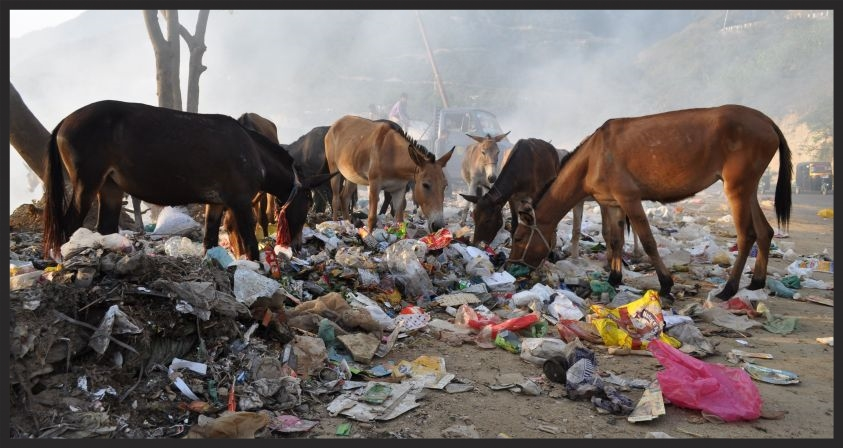 These animals are scavenging for food after a long work day in India. low res www.BrookeUSA.org.jpg