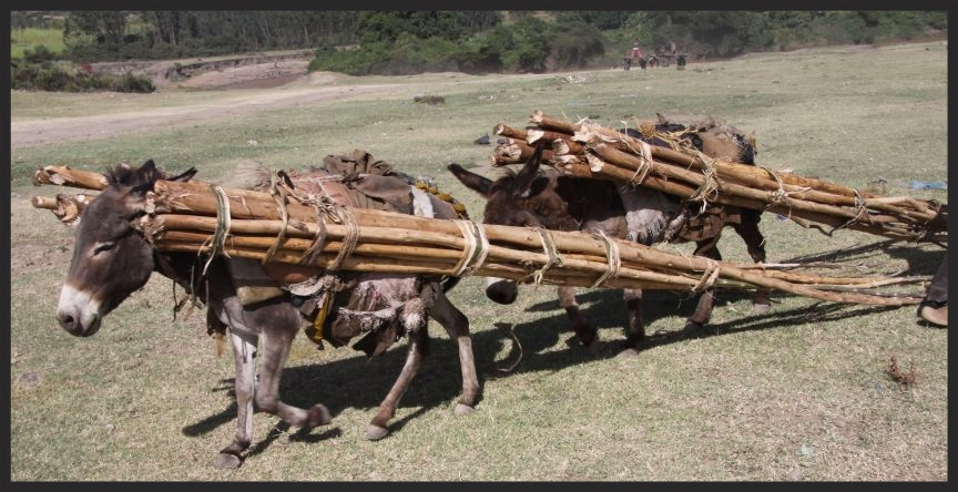 RS5592_Donkeys carrying  pulling timber on their back in Halaba cropped www.BrookeUSA.org.jpg