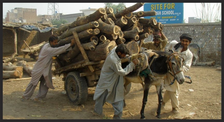 Equines haul most of the building materials in the developing world, like this donkey who is hauling timber in Pakistan. cropped www.BrookeUSA.org.jpg