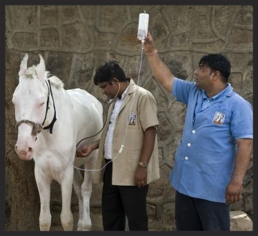A Brooke veterinarian and assistant in India treat a working horse for colic.