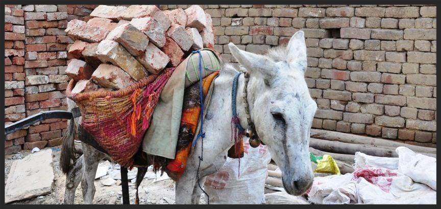 Overloaded brick kiln donkey www.BrookeUSA.org.jpg