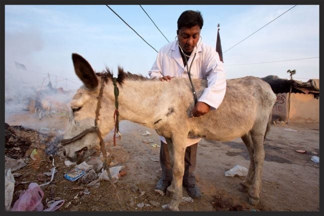 A Brooke veterinarian examines a donkey who lives and works in a slum in Pakistan.