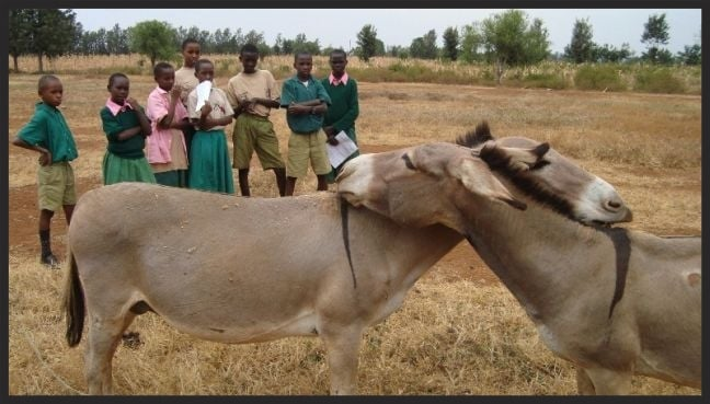The Donkey Care Club for school children in Kenya is facilitated by the Brooke. It teaches children how to respect and care for the animals their families depend on.  Here they are observing donkey behaviour as part of their studies.