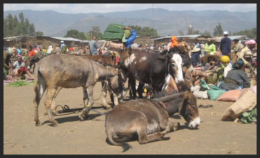 Once the animals reach the market with their heavy loads, they wait in the hot sun all day, without access to water, before the unsold goods are loaded on their backs again to carry home.