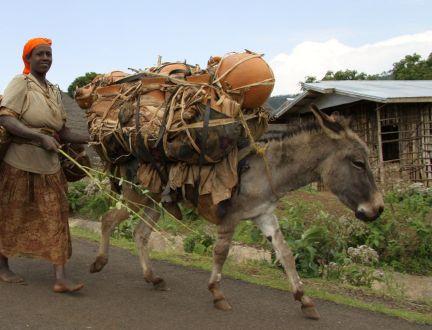 Ethiopia overloaded donkey going to market www.BrookeUSA.org SMALL.jpg