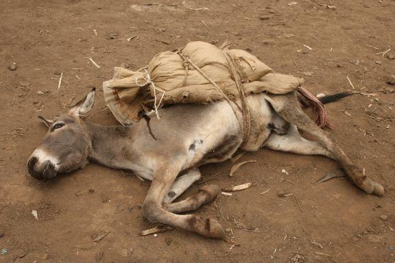 RS14515_Collapsed animal @grain market (2)-lpr.jpg