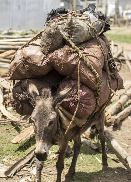 An overloaded and exhausted donkey heads to market with a very heavy burden