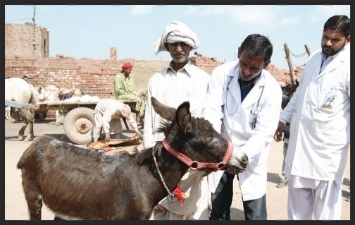 A Brooke mobile veterinary team examines a working donkey