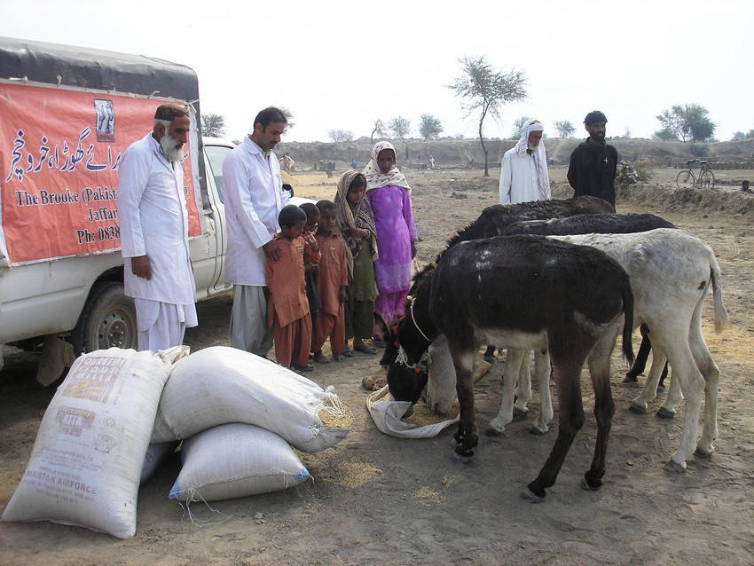 Brooke supplied emergency feed for animals after a devastating flood in Pakistan