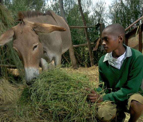 "Anthony, age 13, feeds his donkey in Mwea, Kenya. Anthony's father doesn't feed the family's donkey, but gives all the food to his goats instead. But Anthony attends Brooke's ""Donkey Care Club"" at school and has learned that this is bad for the donkey, so now Anthony takes it upon himself to ensure that their donkey is fed every day."