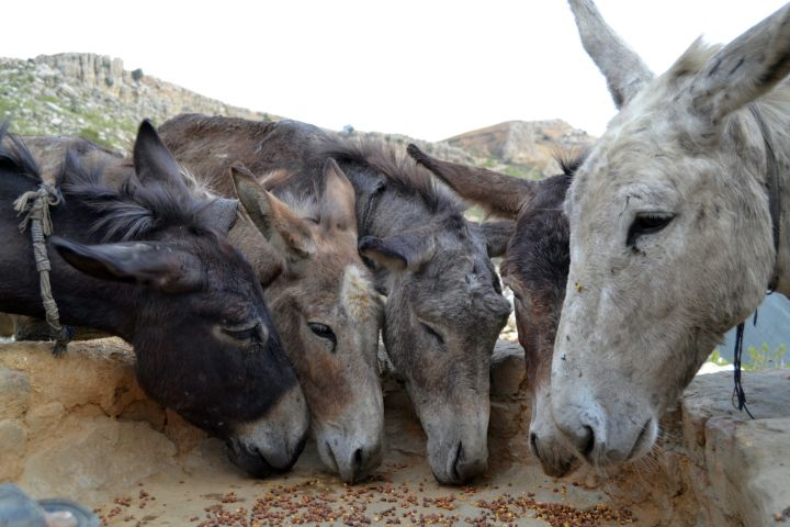 Meagre rations for these donkeys who work long hours in the dark and depths of coal mines.