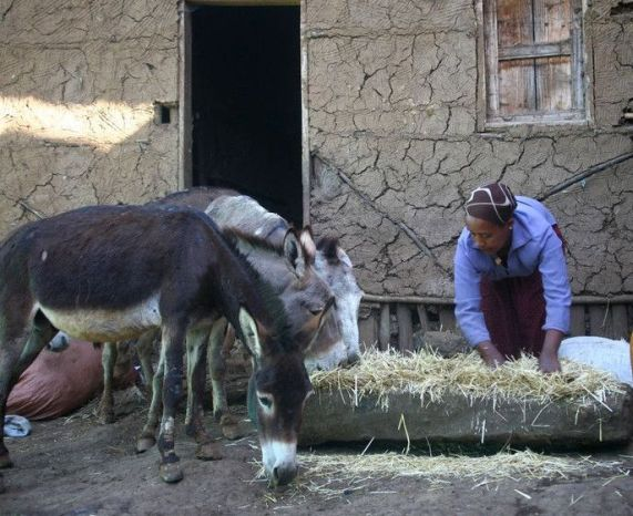 Etalemahu Bekele, a Brooke-trained woman feeding her donkeys with wheat trench mixed with local beer residue in Lemmo, Ethiopia
