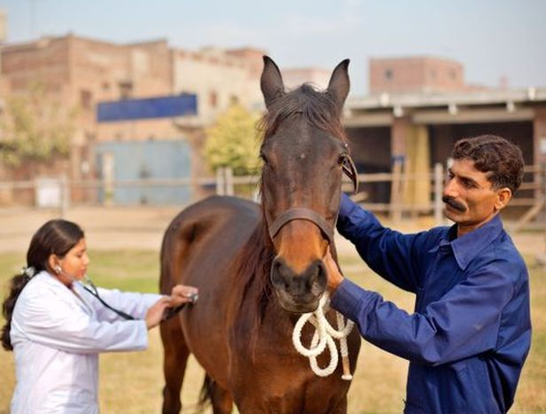 A Brooke veterinarian examines a working horse in Lahore, Pakistan www.BrookeUSA.org.jpg