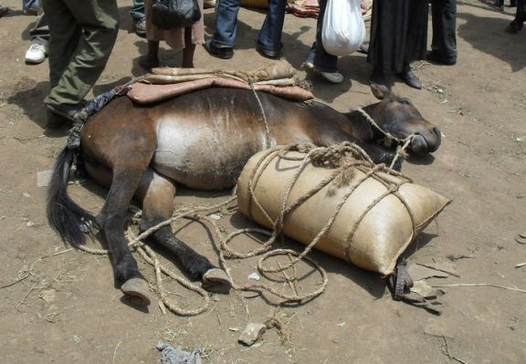 Ethiopia RS11586_SDC10829 Hosanna mule in sun overloaded collapsed-scr.jpg
