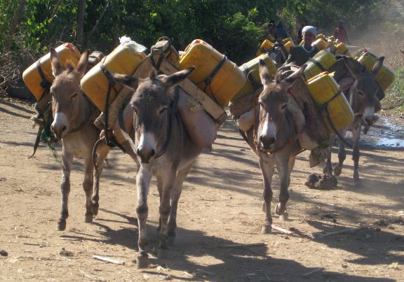 Donkeys transport water from wells that are often many miles away from their homes.