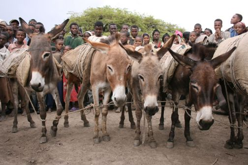 Ethiopia tethered donkeys at market www.BrookeUSA.org SMALL.jpg