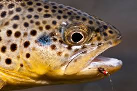 brown trout head.jpg
