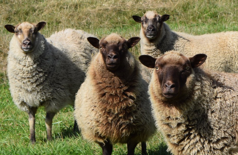 Ewes from Ananda Hills Farm