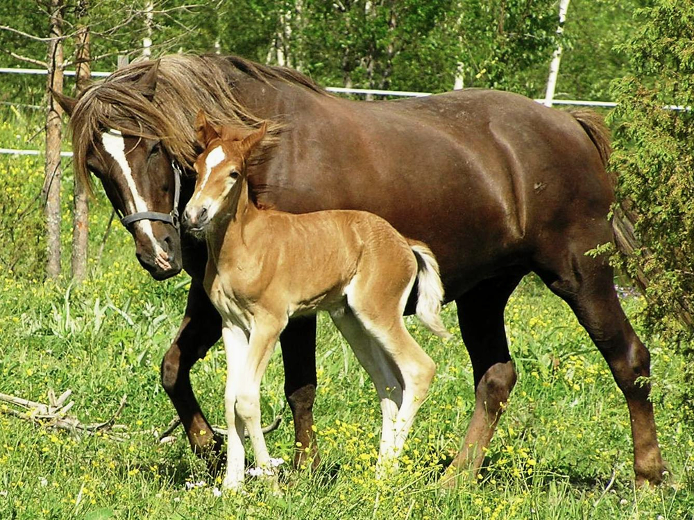 Finnhorse_mare_with_foal.jpg