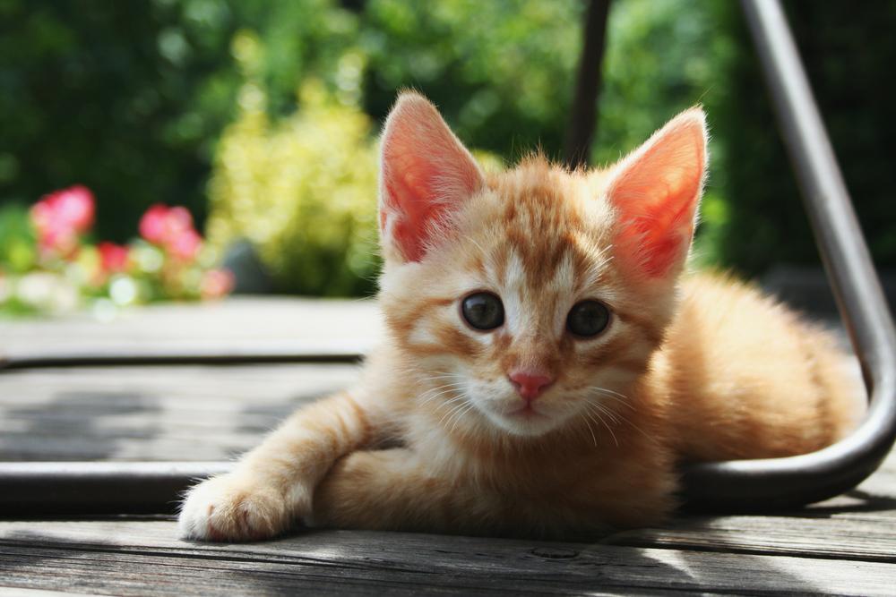 Red_Kitten_01.jpg