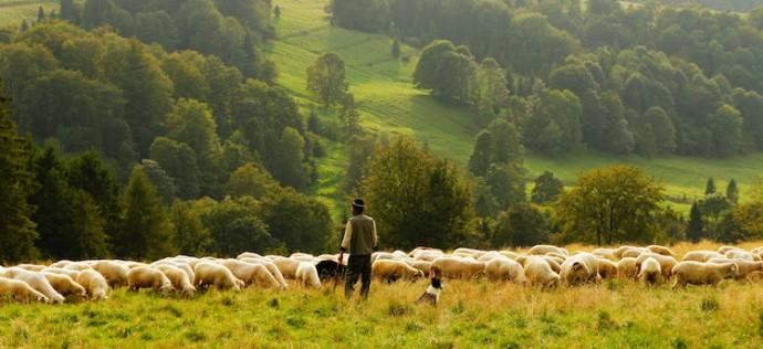 Shepherd-Sheep-690x316.jpg