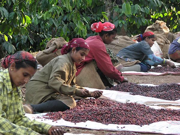 Usda Organic Fair Trade Coffee - Alto Palomar Peru - Processing the Cherries