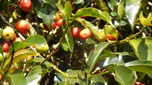 Usda Organic Fair Trade Coffee - YCFCU Yirgacheffe Ethiopia - Cherries