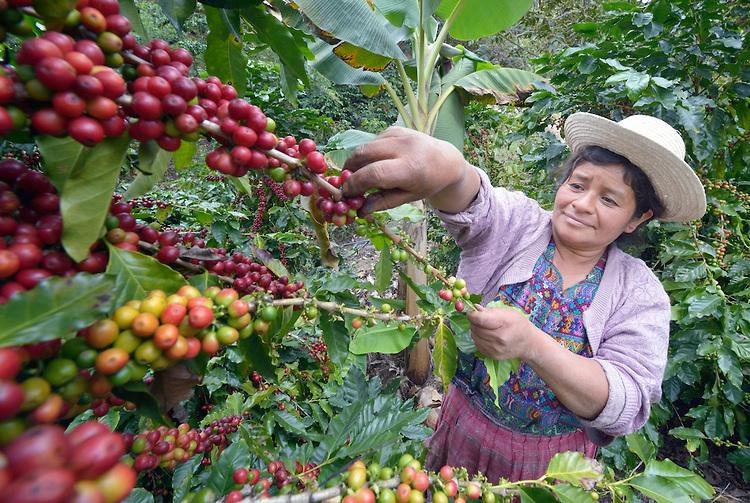 Usda Organic Fair Trade - ASUVIM Guatemala - Coffee Picker