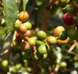 Usda Organic Fair Trade Coffee - CHICHU Yirgacheffe Ethiopia - Cherries