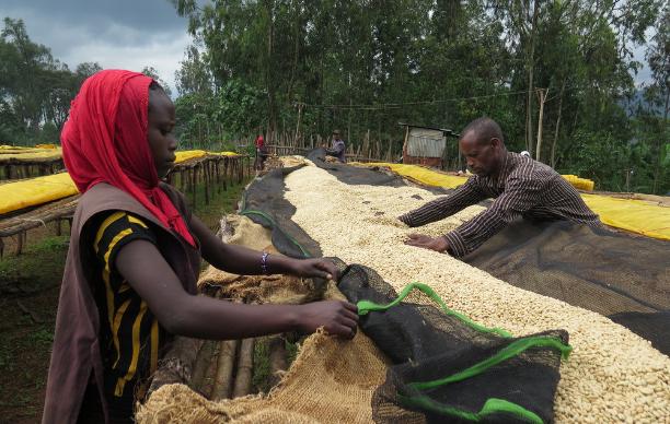 Usda Organic Fair Trade Coffee - CHICHU Yirgacheffe Ethiopia - Drying