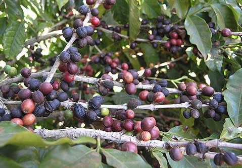 Usda Organic Fair Trade Coffee - Nossa Senhora De Fatima Brazil - Cherries