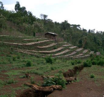 Usda Organic Fair Trade - Natural Sidamo Royal Select Water Ethiopia - Coffee Field