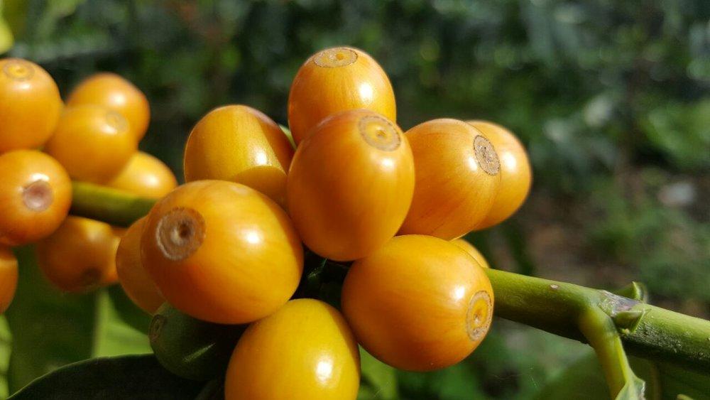 Usda Organic Fair Trade Coffee - Mandheling Royal Select Sumatra - Cherry
