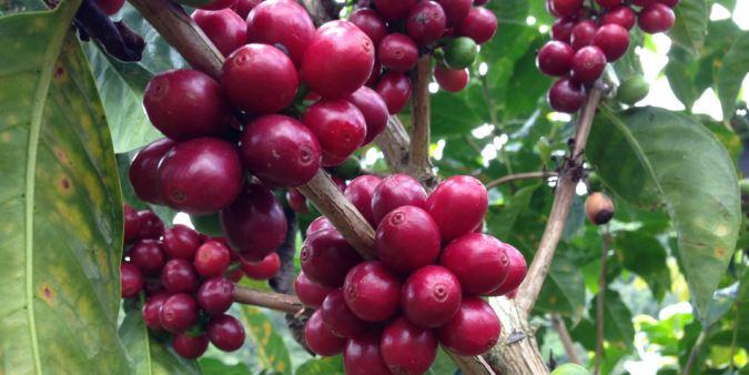 Usda Organic Fair Trade - Peru Sol y Café Peru - Cherries
