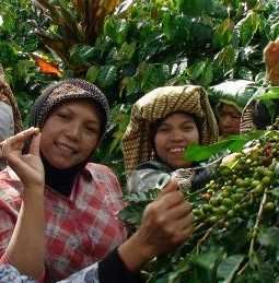 Usda Organic Fair Trade Coffee - Aceh Ketiara - Pickers