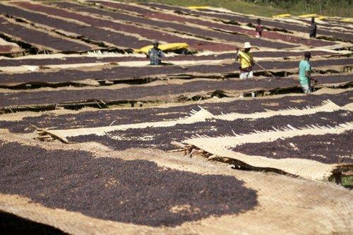 Usda Organic Fair Trade Coffee - DAMA Yirgacheffe Ethiopia - Drying of beans