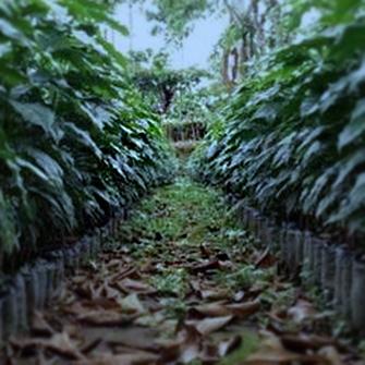 Usda Organic Coffee - Robusta Cherry AB India - Plants