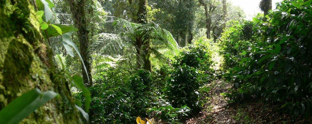 Usda Organic Coffee- IWCA Mexico Robusta - Coffee Plants
