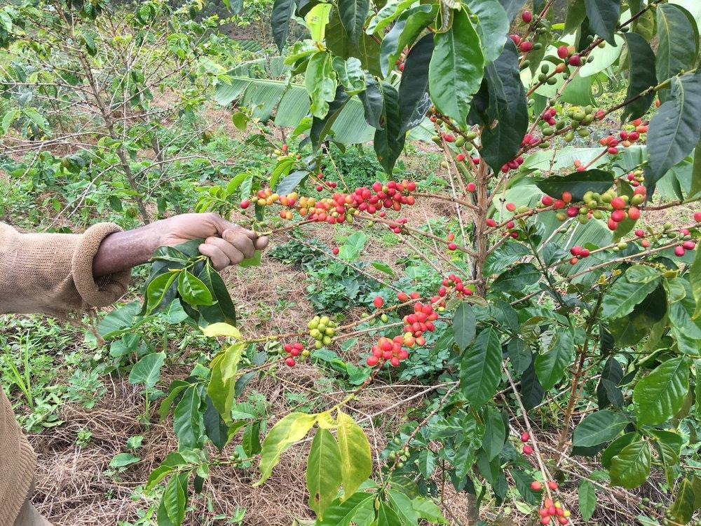 Usda Organic Coffee- IWCA Mexico Robusta - Cherries