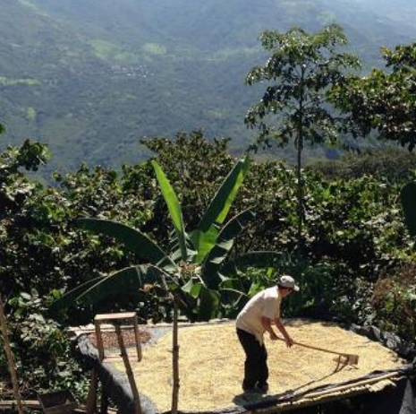 Usda Organic Fair Trade Coffee - Peru Las Damas de San Ignacio - Drying coffee beans