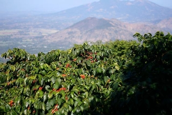 Usda Organic Coffee - Natural Robusta Madagascar - Cherry Tree