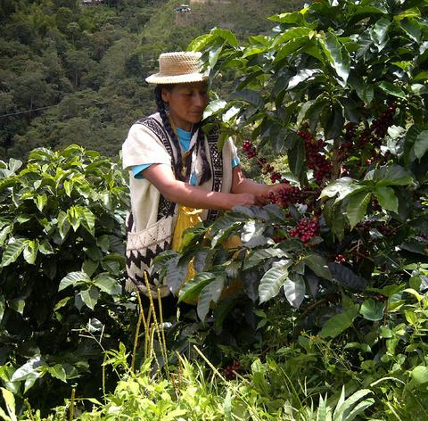 Usda Organic Swiss Water Decaf - Colombia - Cherry Picker