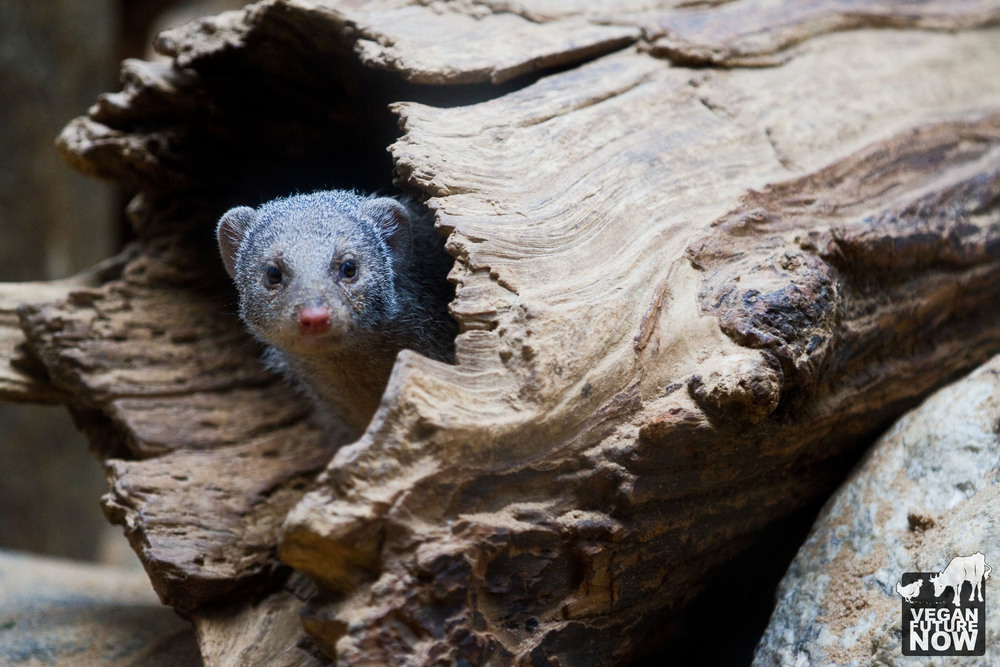 The native environment of the banded mongoose (Mungos mungo) is the grasslands and savannas of eastern and central Africa, where his home is often a large termite mound. The banded mongoose in this photo lives inside a fake log in New York City.  To learn more about the banded mongoose, there's no need to visit a zoo. Wikipedia will tell you everything you need to know about this fascinating Earthling: http://en.wikipedia.org/wiki/Banded_mongoose