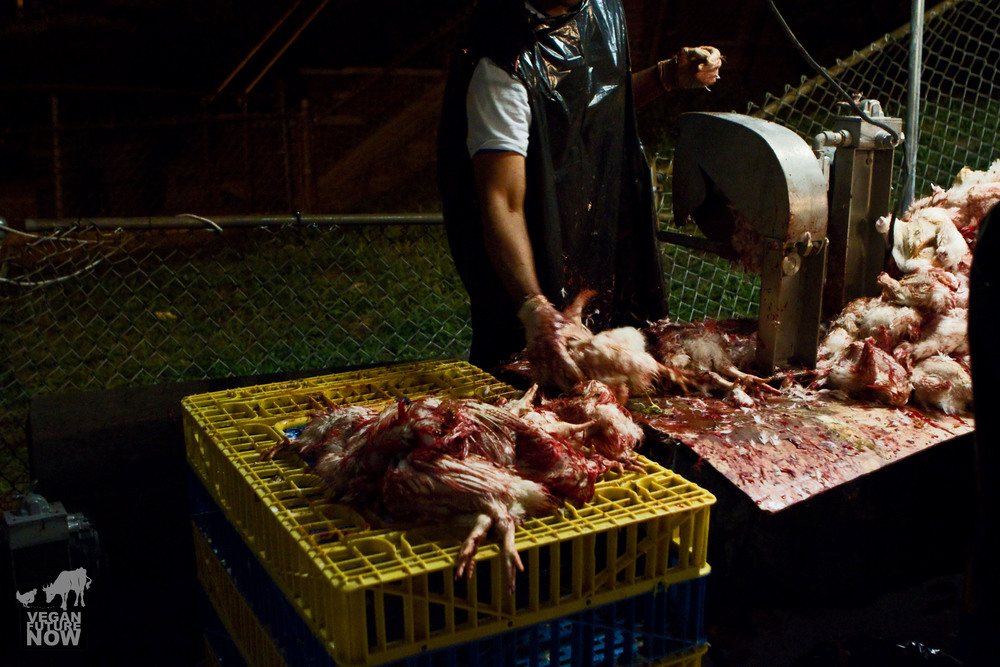 A man working the disassembly line grabs a chicken and begins the dismemberment process.