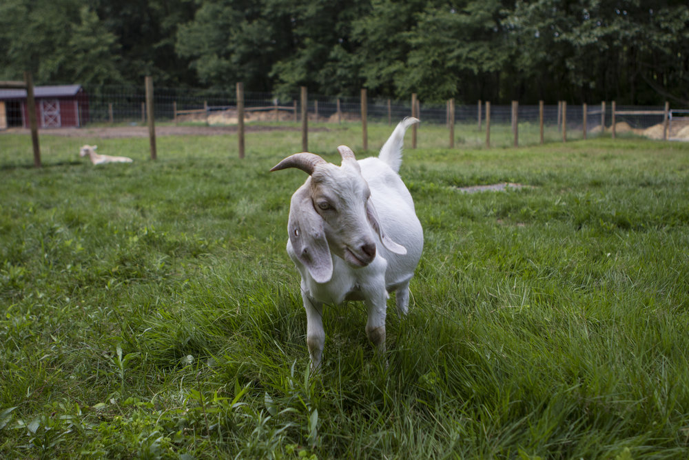 "This is Bubblegum, one of several goats rescued from a ""Farm to Table"" operation in Westfield, Massachusetts. Many people who consider themselves ""conscientious omnivores"" make a point of avoiding meat that comes from factory farms, and consume only meat that is the product of small-scale farming operations that market themselves as healthy, sustainable, and ethical alternatives to factory farms. The truth, however, is that as far as the well-being of the animals is concerned, many of these farms are just as bad as, and often worse than, factory farms. When the goats who now live at Tamerlaine were rescued, many of them were sick, all were emaciated, and the farm on which they were being raised was strewn with the decaying bodies of other animals who had died from neglect, disease, and starvation."