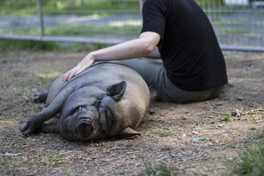 If you've never given a belly-rub to a pig, you owe it to yourself to schedule one ASAP.  Artie's secretary is standing by. :)