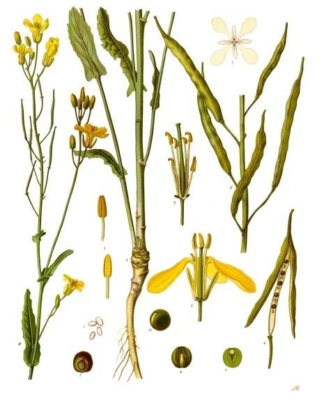Figure 1.  Rapeseed, Brassica Napus. (en.wikipedia.org)